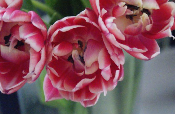 Tulpenliebe Tulpen Blumen Farbe bunt colour Geburtstag Farbenspiel coloursplash Tulpenliebe