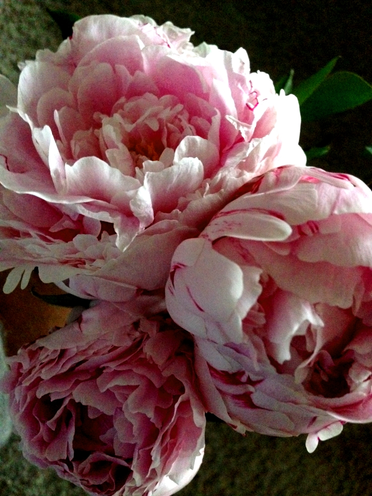 Pfingstrosen wunderschön Pfingsten Mai Wonnemonat Blumen